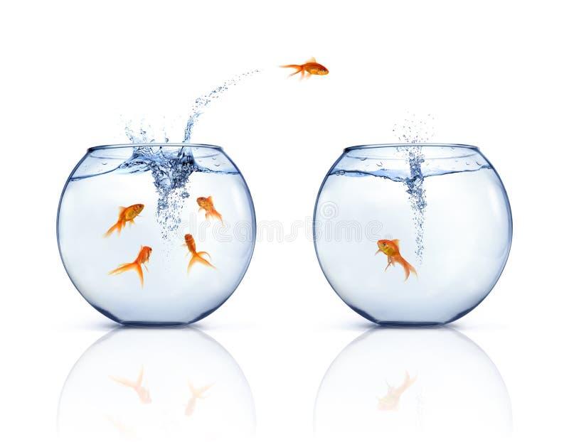 Goldfishes de salto foto de archivo libre de regalías
