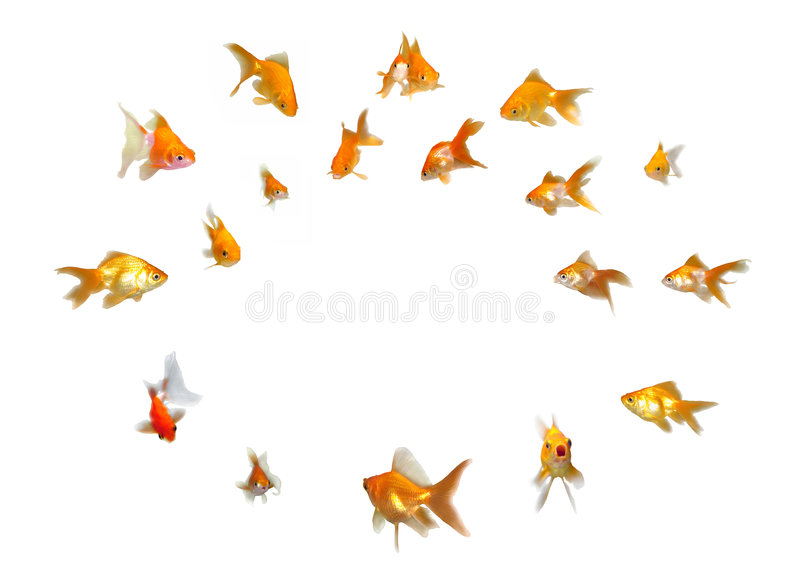 Download Goldfishes Set - Announcement! Paying Attention! Stock Image - Image: 7269591