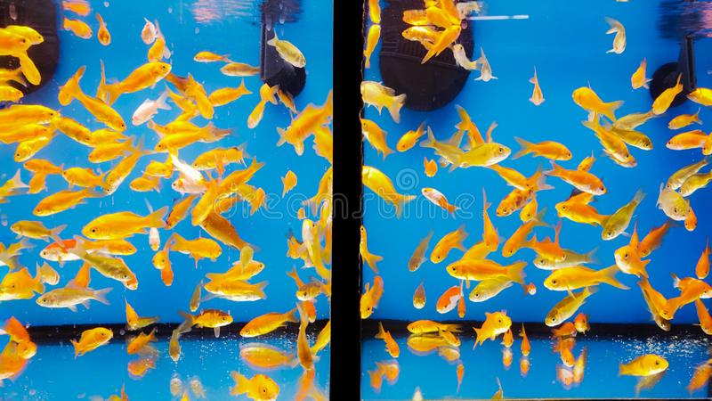 Goldfishes in  fishtank with blue background stock photo