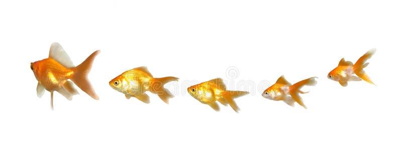 Download Goldfishes Trabajo En Equipo Y Dirección Foto de archivo - Imagen de invitación, guía: 7282462