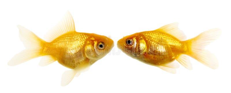 Goldfishpaare stockbilder