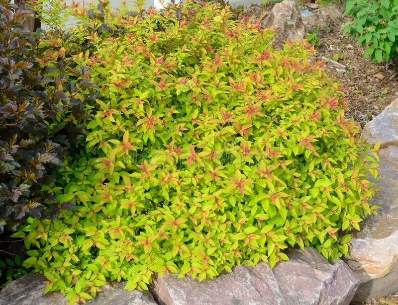Goldflame Spirea, das Strauch landschaftlich gestaltet stockbild