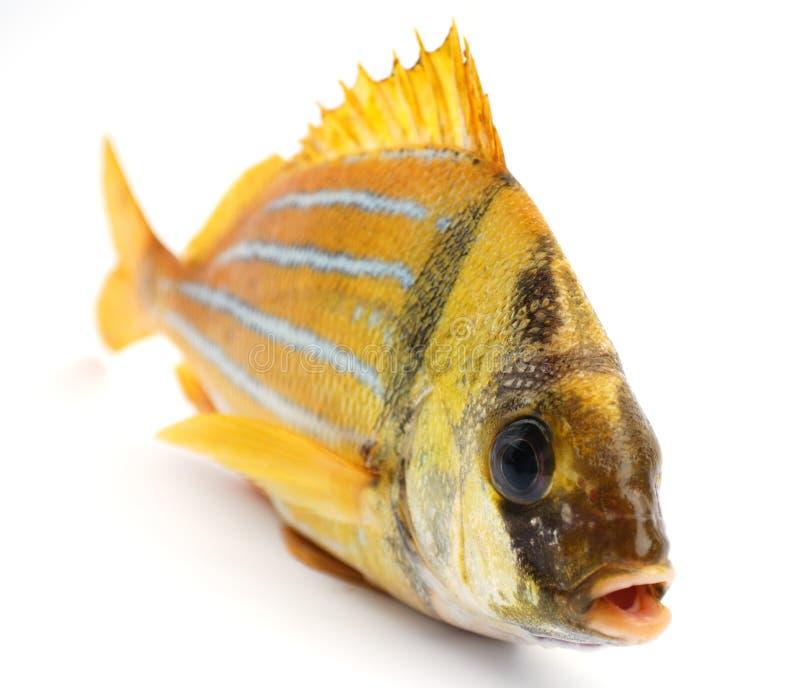 Goldfrische Fische stockbilder