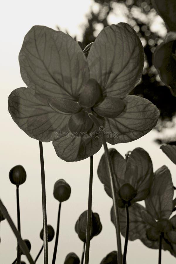 Goldmedaillon-Baumblume in Schwarzweiss stockbilder
