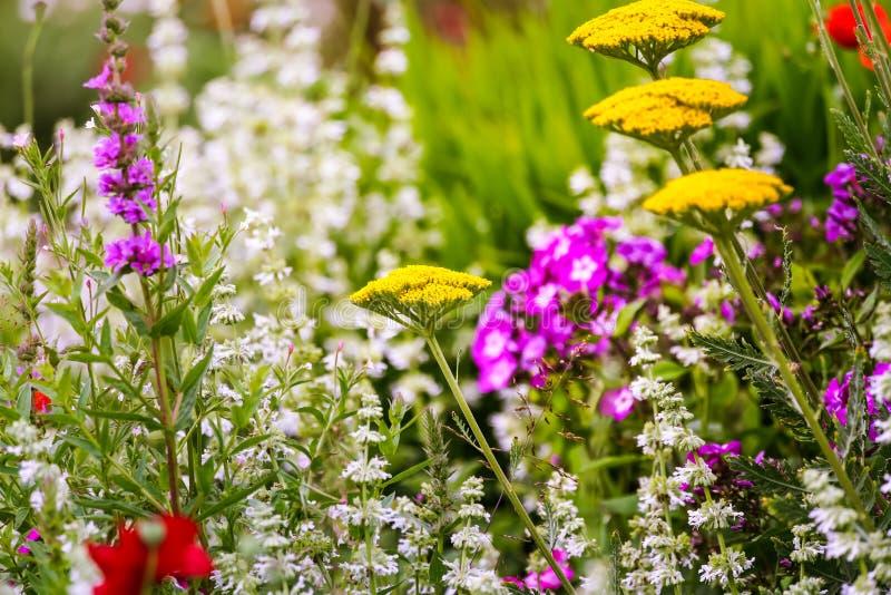Goldplatten-Schafgarbe mit anderen Blumen in einer grünen Wiese Sommer-Natur-Muster und Hintergrund lizenzfreies stockbild