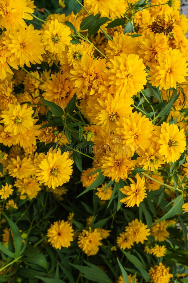 Goldquelle Coneflower, Tall late summer perennial herb with deeply cut leaves and bright yellow double flower heads on sturdy. Stems royalty free stock images
