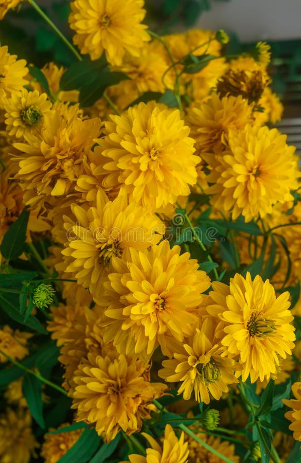 Goldquelle Coneflower, Tall late summer perennial herb with deeply cut leaves and bright yellow double flower heads on sturdy. Stems royalty free stock photo