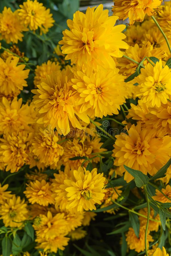 Goldquelle Coneflower, Tall late summer perennial herb with deeply cut leaves and bright yellow double flower heads on sturdy. Stems royalty free stock photos