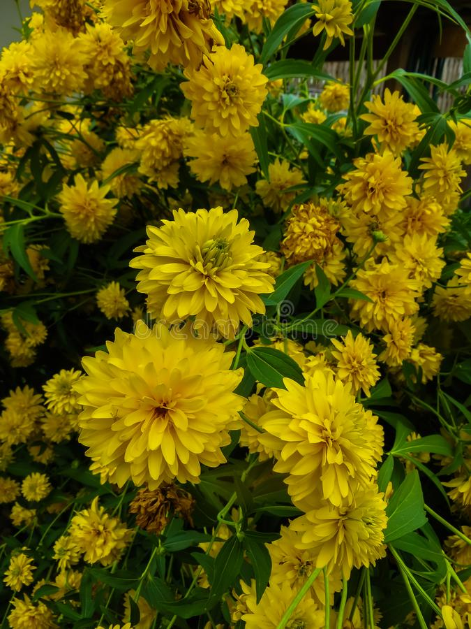 Goldquelle Coneflower, Tall late summer perennial herb with deeply cut leaves and bright yellow double flower heads on sturdy. Stems stock images