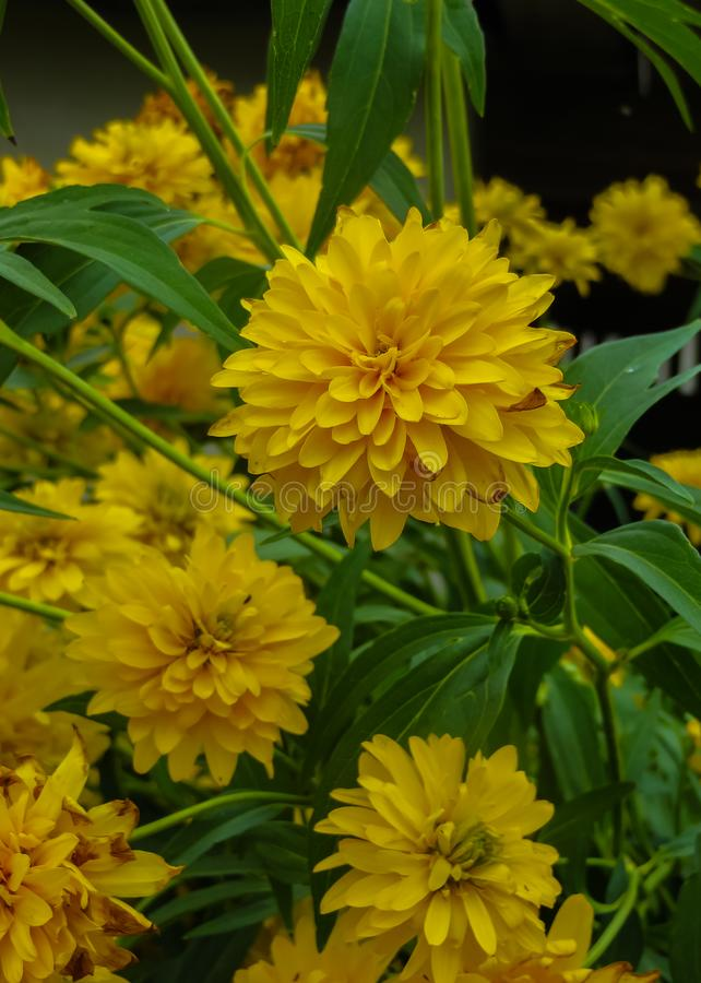 Goldquelle Coneflower, Tall late summer perennial herb with deeply cut leaves and bright yellow double flower heads on sturdy. Stems royalty free stock image