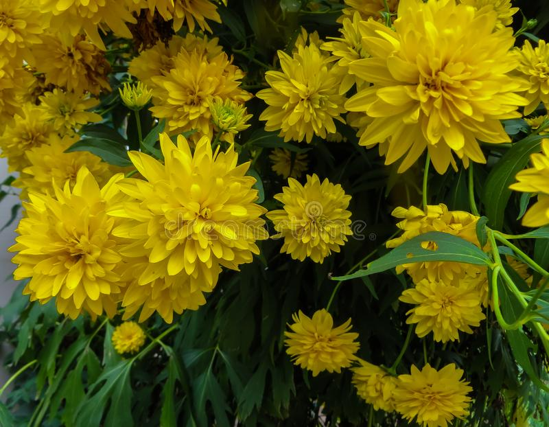 Goldquelle Coneflower, Tall late summer perennial herb with deeply cut leaves and bright yellow double flower heads on sturdy. Stems stock photo