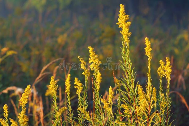 Goldrute, Herbst lizenzfreies stockbild
