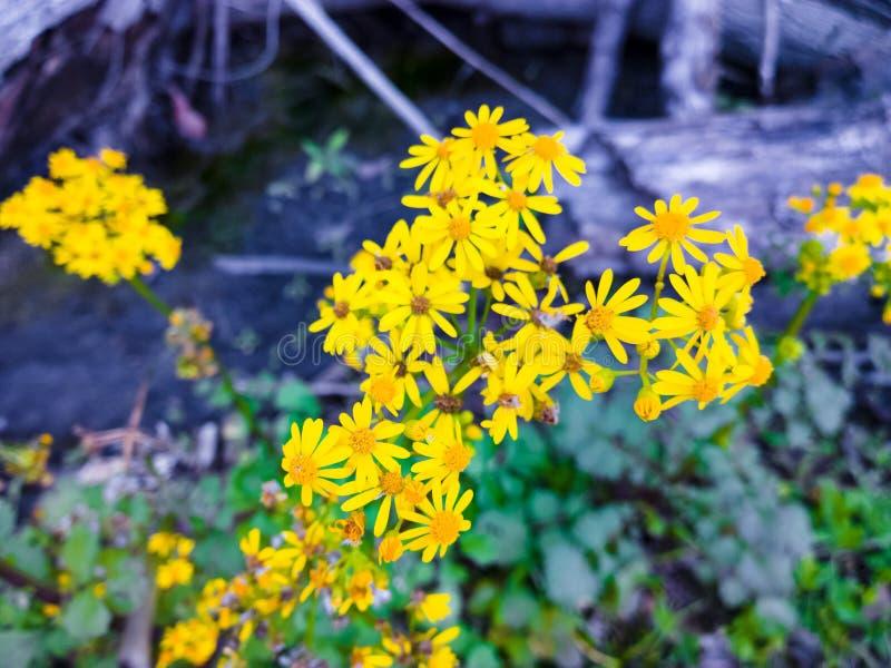 Goldrutenblumen stockfotos