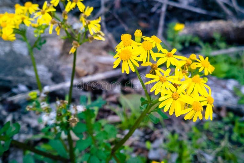 Goldrutenblumen lizenzfreie stockfotografie