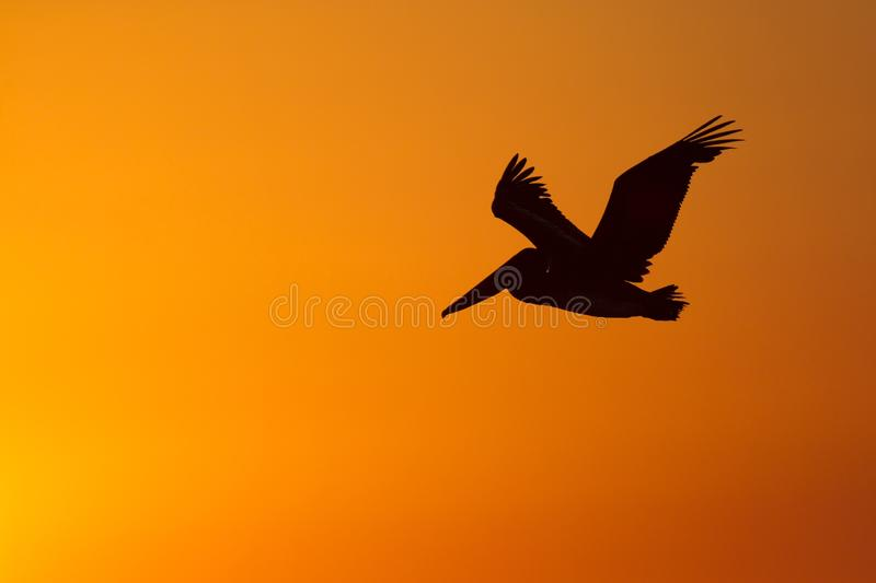 The golf of Mexico with a dramatic sunset and a pelican in flight as seen from For Myers Beach, Florida, USA.  royalty free stock photography