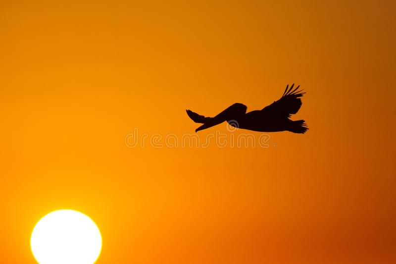 The golf of Mexico with a dramatic sunset and a pelican in flight as seen from For Myers Beach, Florida, USA.  stock photography