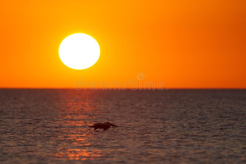 The golf of Mexico with a dramatic sunset and a pelican in flight as seen from For Myers Beach, Florida, USA.  stock photo