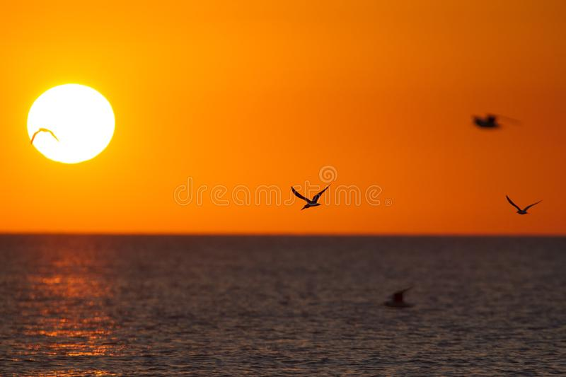 The golf of Mexico with a dramatic sunset and seabirds in flight as seen from For Myers Beach, Florida, USA.. The golf of Mexico with a dramatic sunset and royalty free stock photos