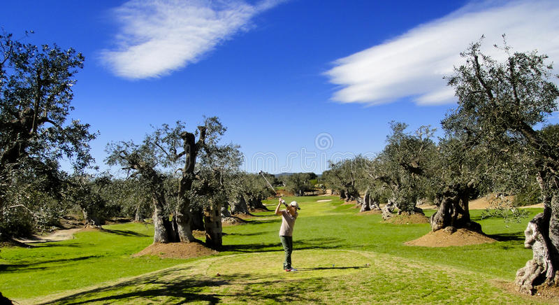 Golf player in the Olive Grove. Golf in the olive grove in Sothern Italy, Fasano, Apulia royalty free stock image