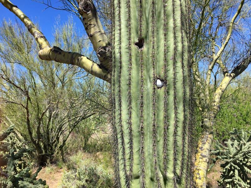 Golfboll som klibbas i en Saguarokaktus i Arizona royaltyfri fotografi