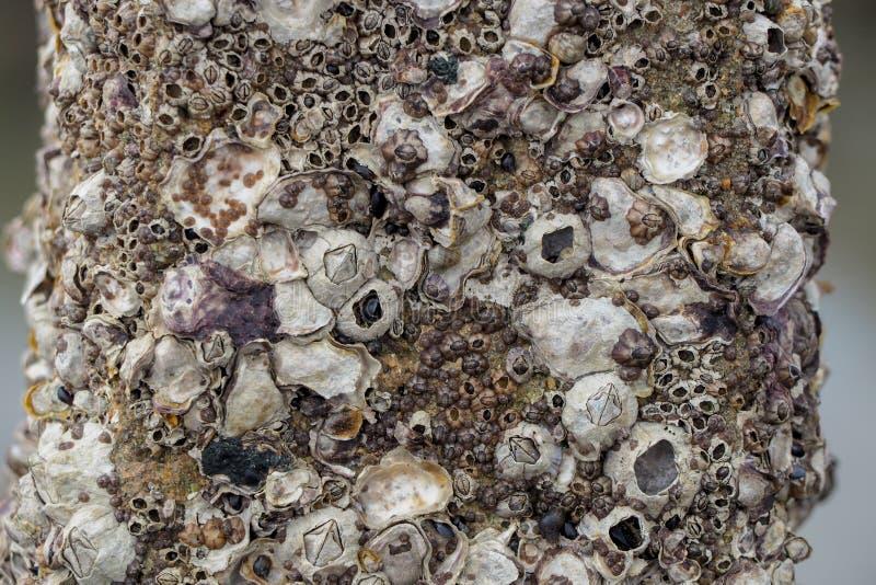 Golfbrekerpolen door eendenmosselen en algen bij de hoogste tribune bij een Noordzeestrand langs worden behandeld waar een paarga stock foto's