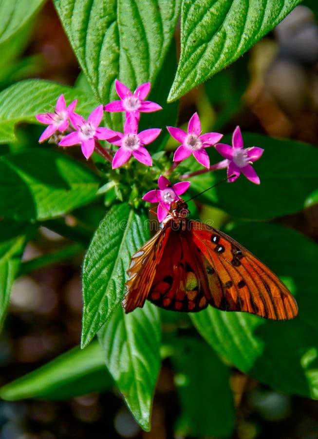 GolfFritillaryfjäril som läppjar nektar royaltyfri fotografi