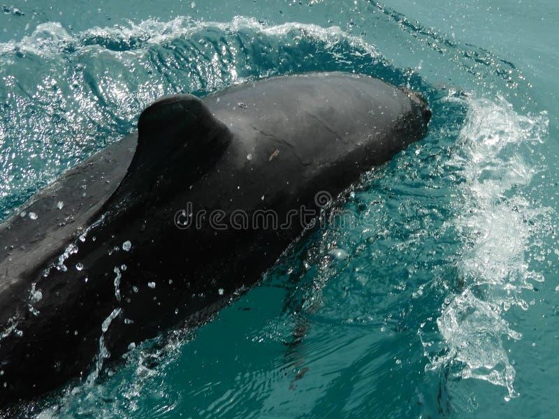 Golfinho bonito no mar das caraíbas imagens de stock