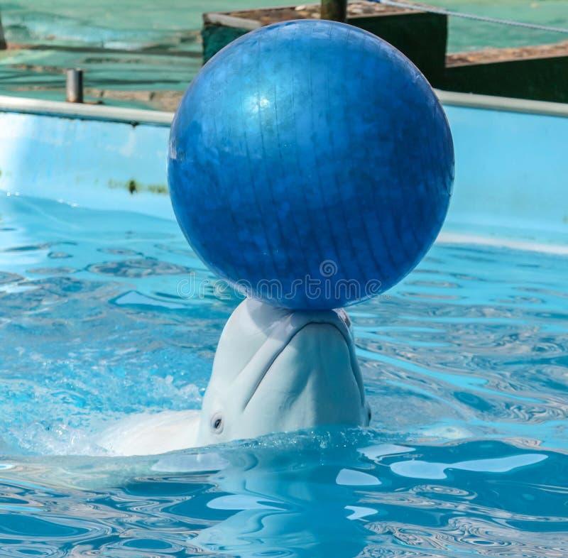 Golfinho branco grande com uma bola em sua cabe?a fotos de stock