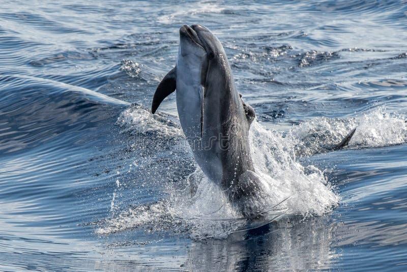 Golfinho comum que salta fora do oceano imagens de stock royalty free