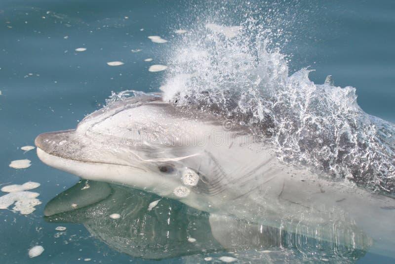 Golfinho de bottlenose selvagem que nada ao lado do barco no Peru imagens de stock