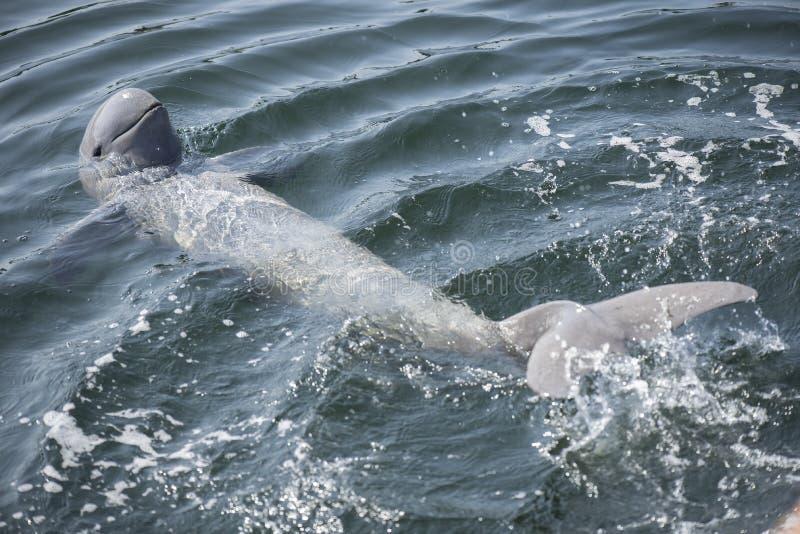 Golfinho de Irrawaddy fotos de stock