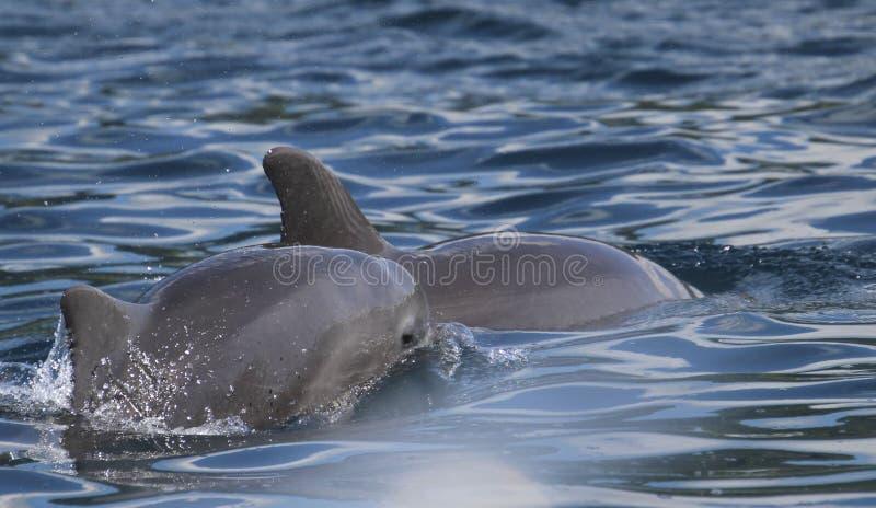 Golfinho e mamã do bebê fotografia de stock