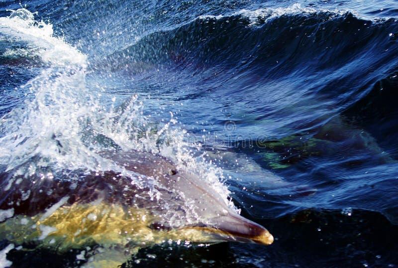 Golfinho na água azul foto de stock royalty free