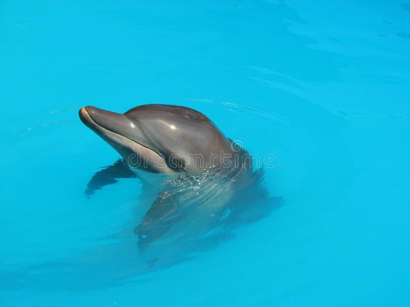 Golfinho na água de turquesa foto de stock royalty free