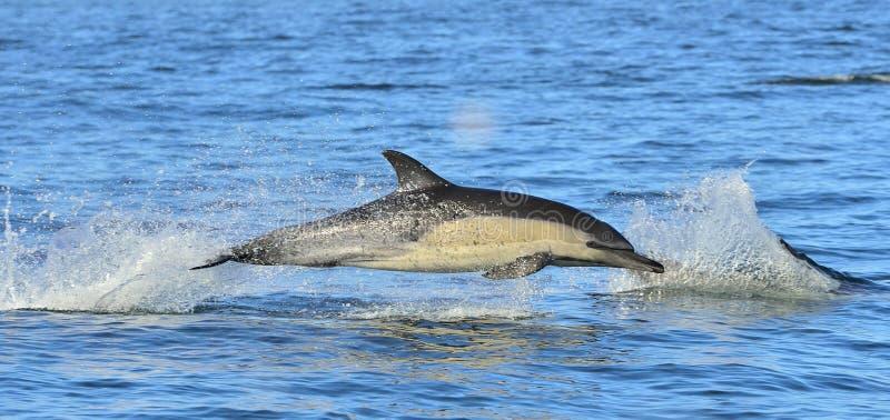 Golfinho, nadando no oceano Nadada dos golfinhos e salto da água fotografia de stock