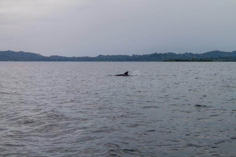 Golfinho no arquipélago de Toro do del de Bocas, Pana imagem de stock
