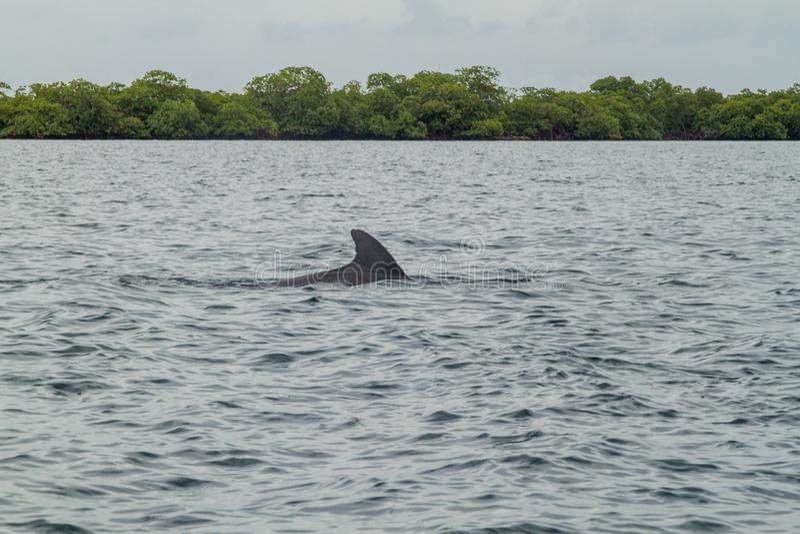 Golfinho no arquipélago de Toro do del de Bocas, Pana fotos de stock royalty free