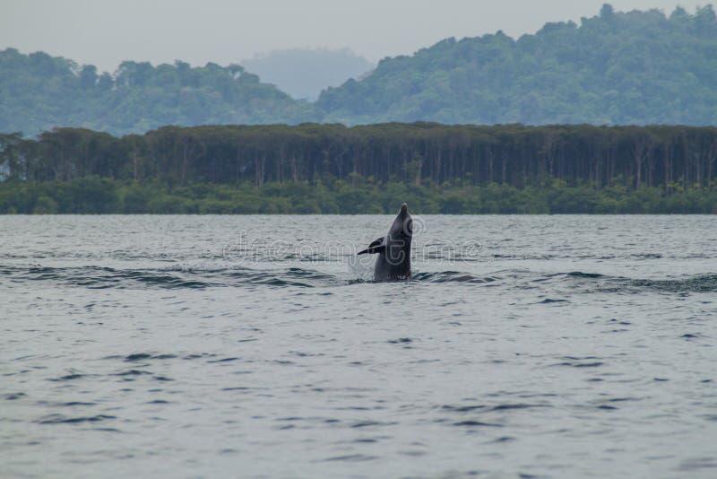 Golfinho no arquipélago de Toro do del de Bocas, Pana fotos de stock