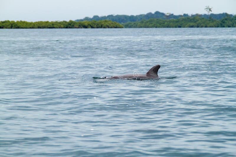 Golfinho no arquipélago de Toro do del de Bocas, Pana foto de stock