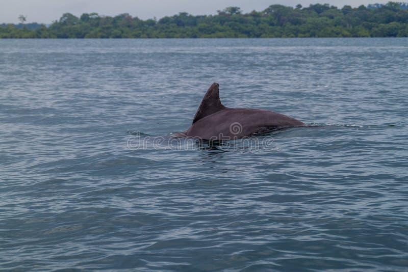 Golfinho no arquipélago de Toro do del de Bocas, Pana fotografia de stock royalty free
