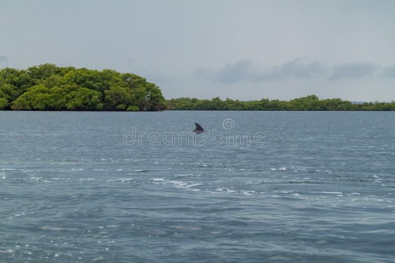 Golfinho no arquipélago de Toro do del de Bocas, Pana foto de stock royalty free