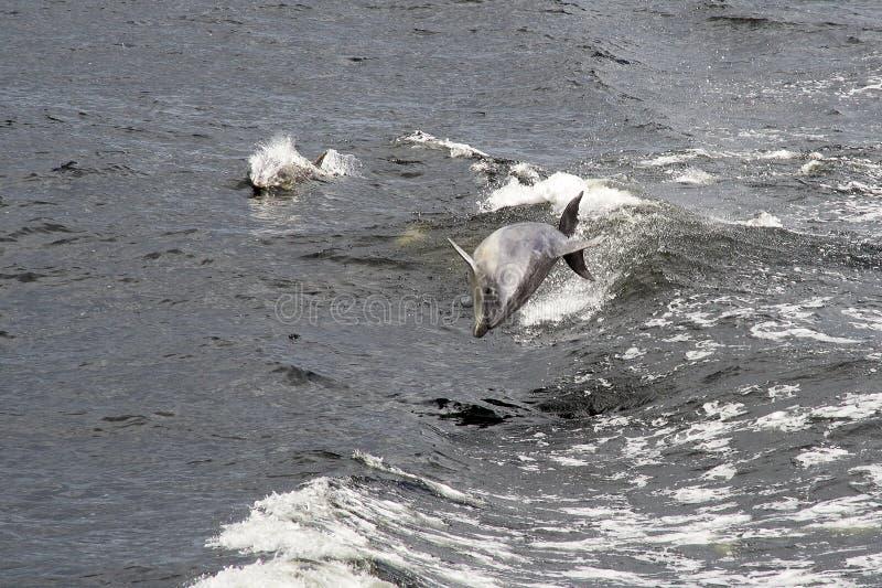 Golfinho obscuro fotos de stock royalty free