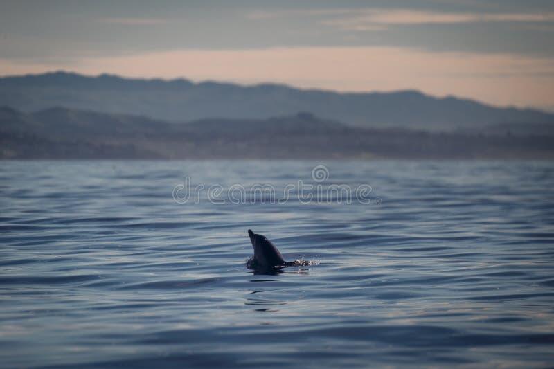 Golfinho que pica a cabeça fora da água em Califórnia fotos de stock royalty free