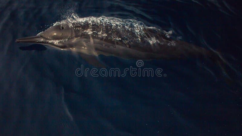 golfinhos fotografia de stock royalty free