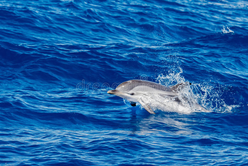 Golfinhos ao saltar no mar azul profundo foto de stock