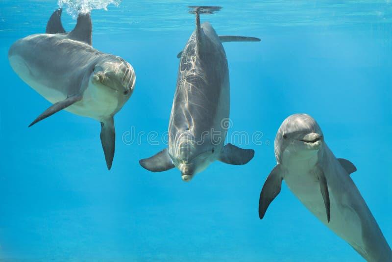 3 golfinhos brincalhão debaixo d'água imagem de stock royalty free