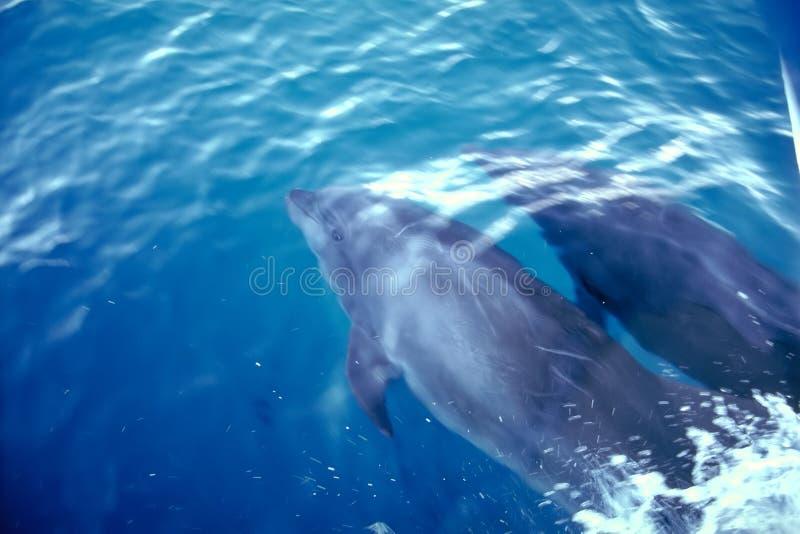Golfinhos - consoles de Galápagos imagem de stock