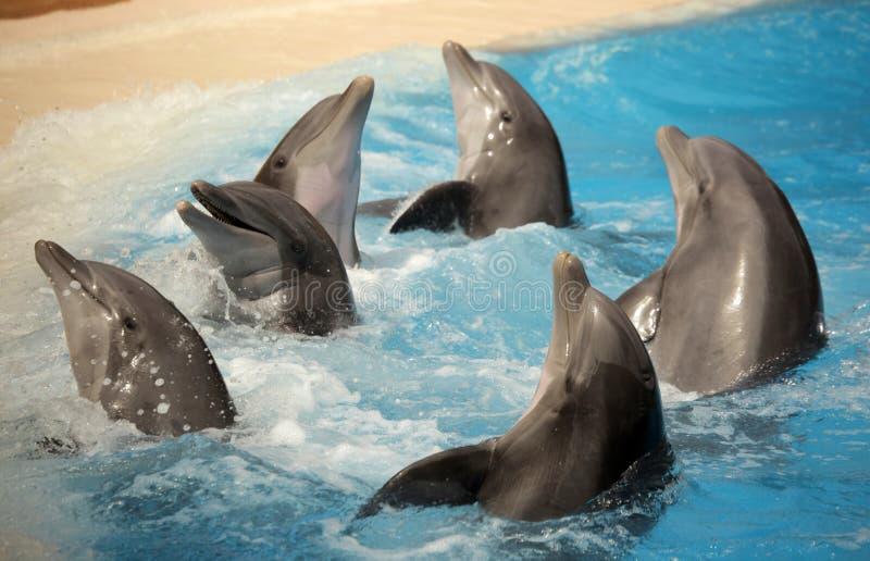 Golfinhos da dança fotos de stock