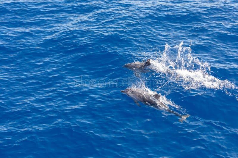 Golfinhos da família que nadam no oceano azul em Tenerife, Espanha foto de stock royalty free