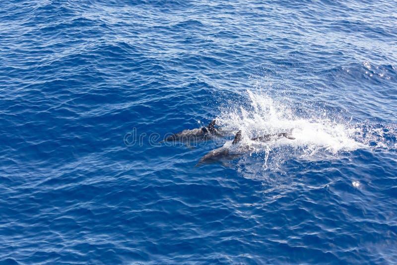 Golfinhos da família que nadam no oceano azul em Tenerife, Espanha imagens de stock royalty free
